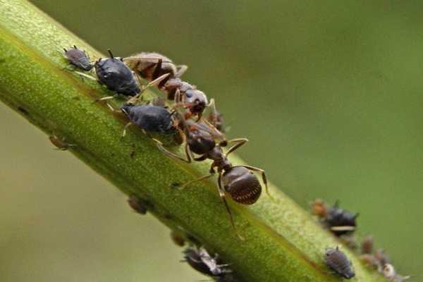Борьба с муравьями на огуречной грядке