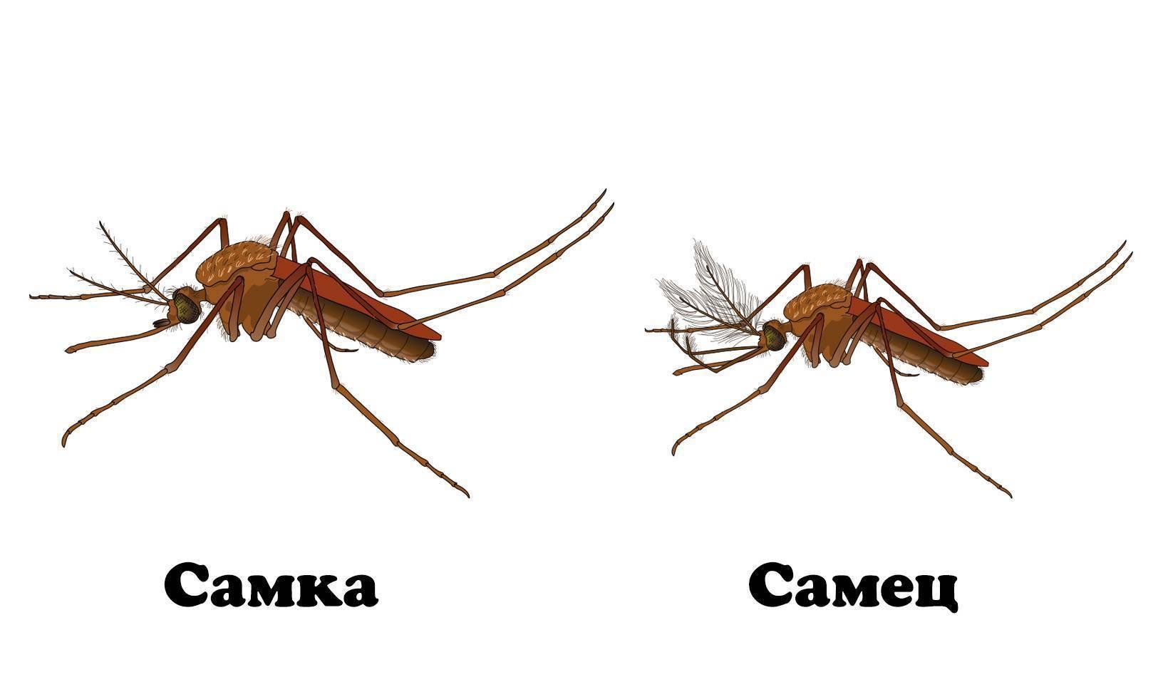 Продолжительность жизни комаров