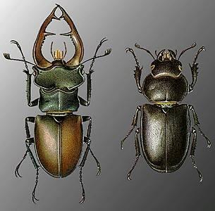 Красотел пахучий (calosoma sycophanta l.)