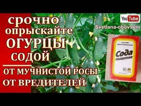 Сода в помощь чёрной смородине: растим ягоды без химии