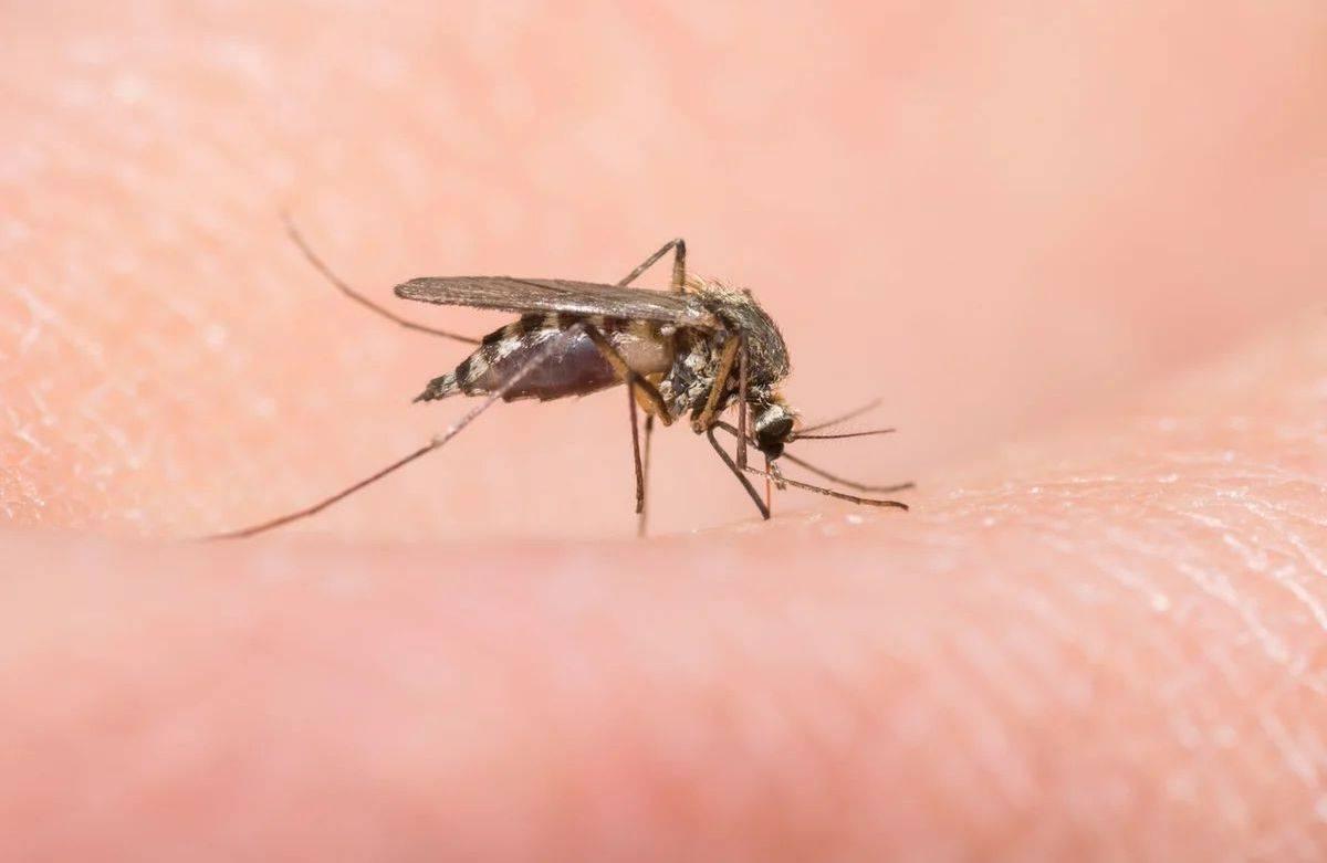 Чем лечить укусы комаров у собак. что делать, если собаку покусали комары и мошки