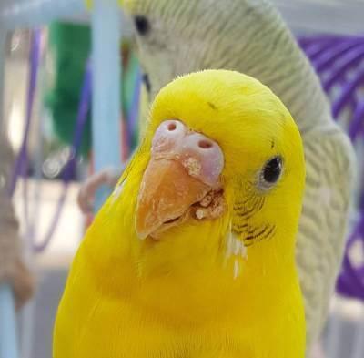Лечение клеща на клюве у волнистого попугая