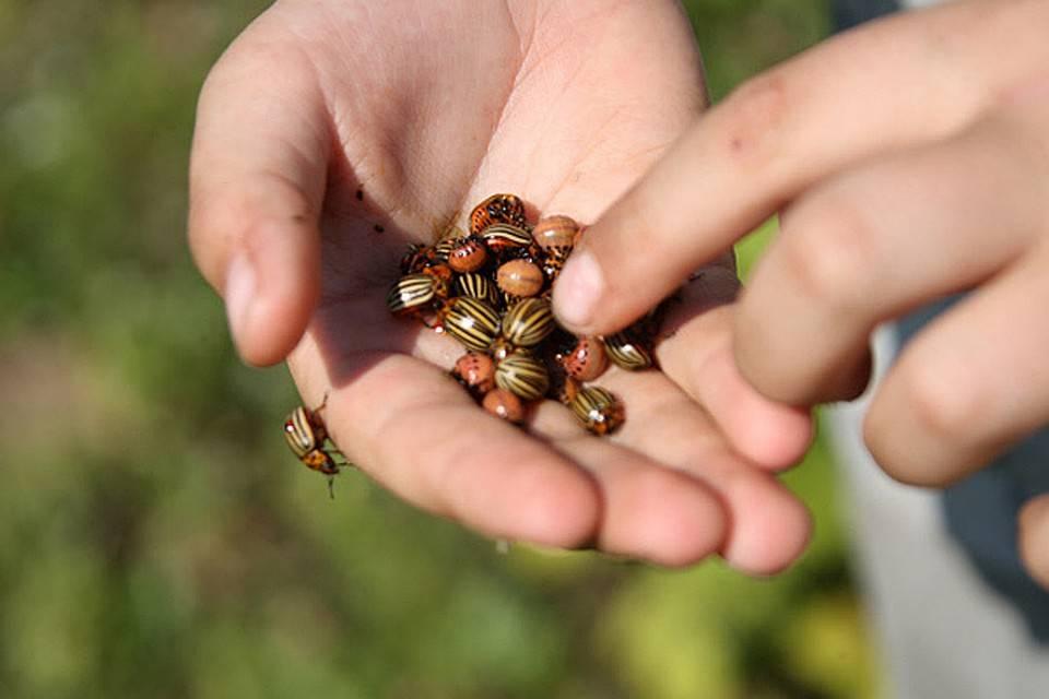 3 главных способа борьбы с колорадским жуком