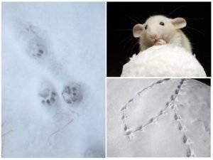 Что делать, если укусила крыса
