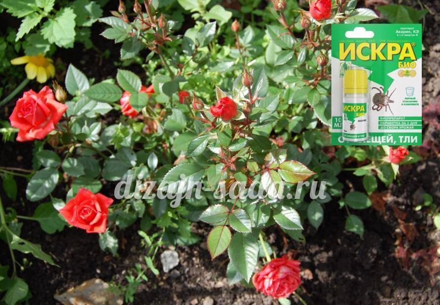 Как избавиться от тли на розах: эффективные способы борьбы, препараты для обработки