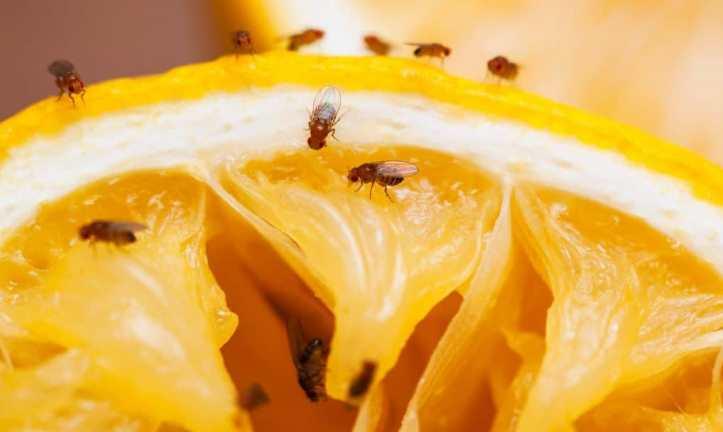 Откуда берутся мошки на фруктах: источники и профилактика