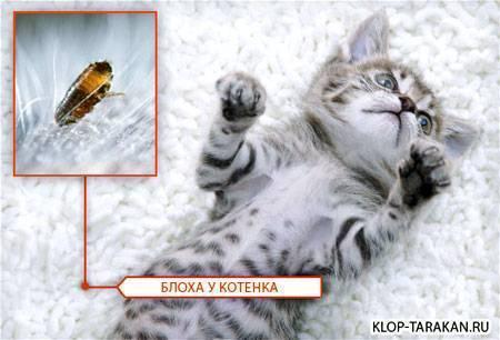 Внешний вид блохи у кошек, как определить наличие и вывести паразитов у питомца?