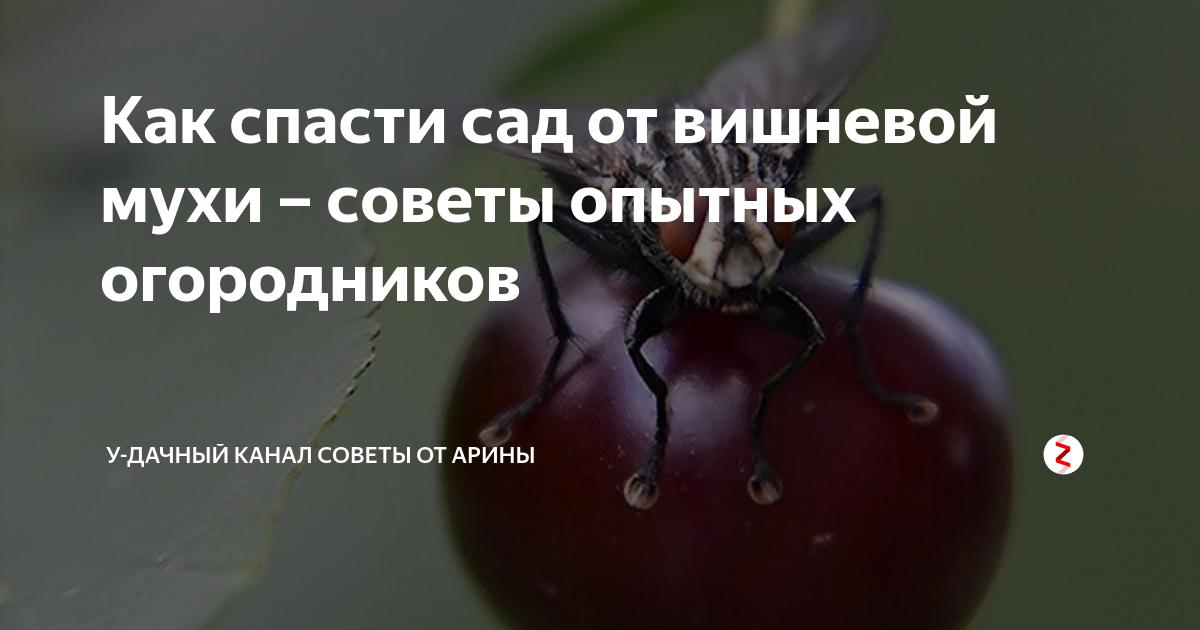 Как выглядит вишневая муха и методы борьбы с ней