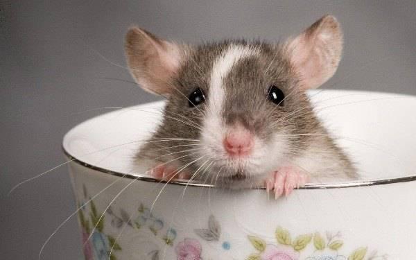 Опасность укуса мыши и первая помощь
