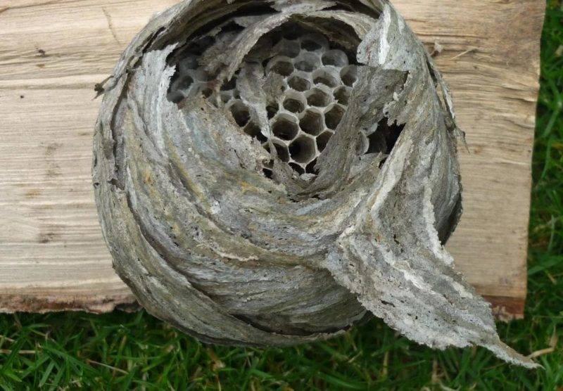 Способы избавления от ос в доме и на даче, поиск и уничтожение гнезда