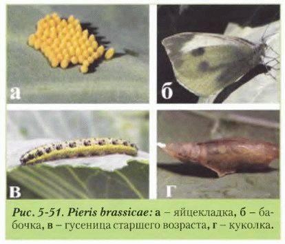 Как бороться с капустницей – оригинальные способы