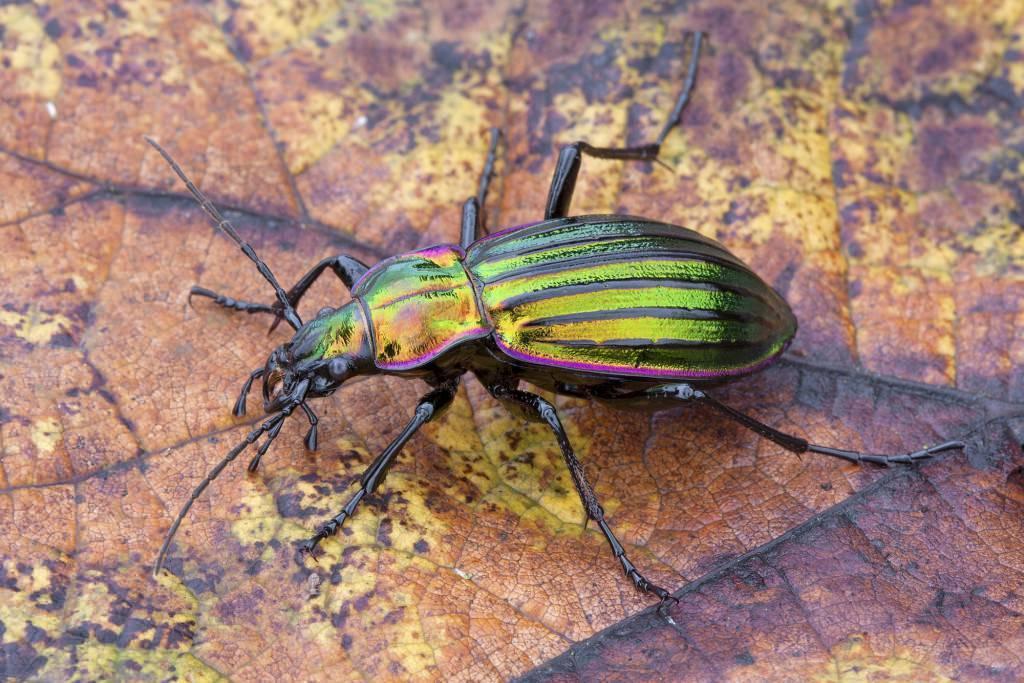 Описание жужелицы садовой обыкновенной: чем питается насекомое