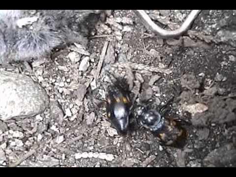 Самая большая муха в мире: характеристика и фото