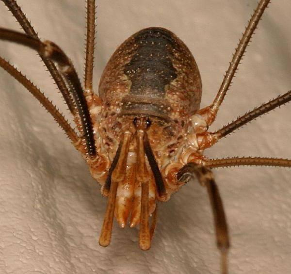 Паук сенокосец: описание паука с длинными ножками