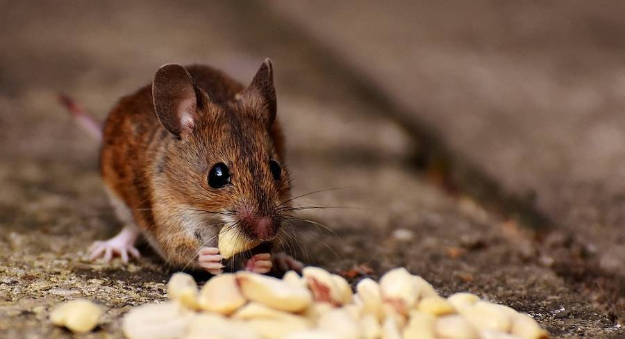 Как навсегда избавиться от мышей на даче?