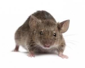 Как вывести мышей из частного дома