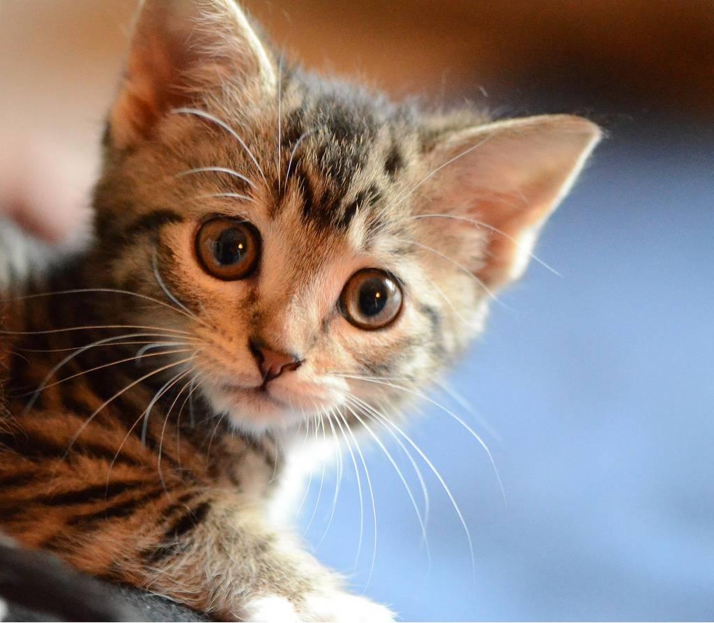 Блохи у кошки: как определить и что делать