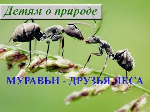 Садовые муравьи вред и польза