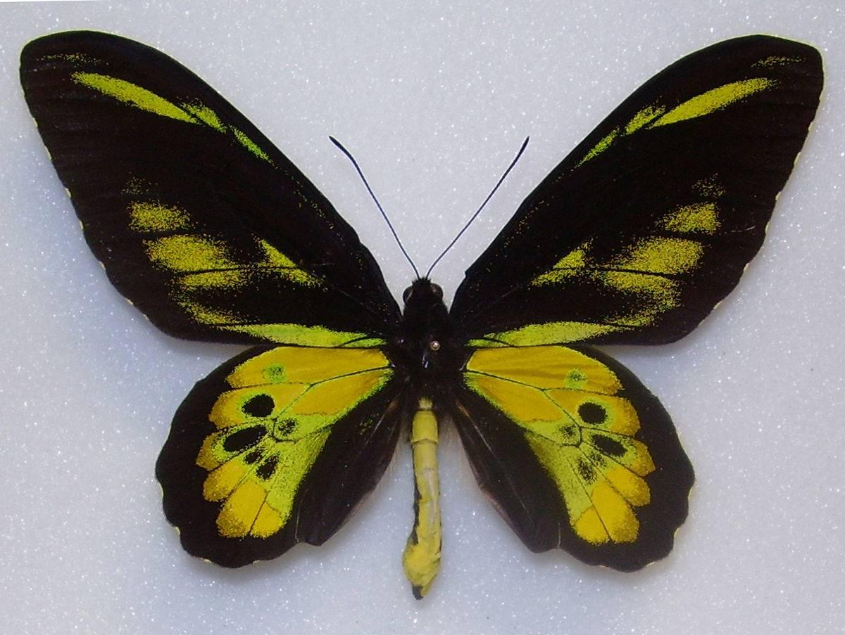 Бабочка махаон – яркий парусник на цветах