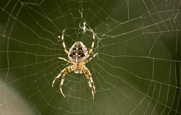 Как распознать паука-крестовика и насколько он опасен?