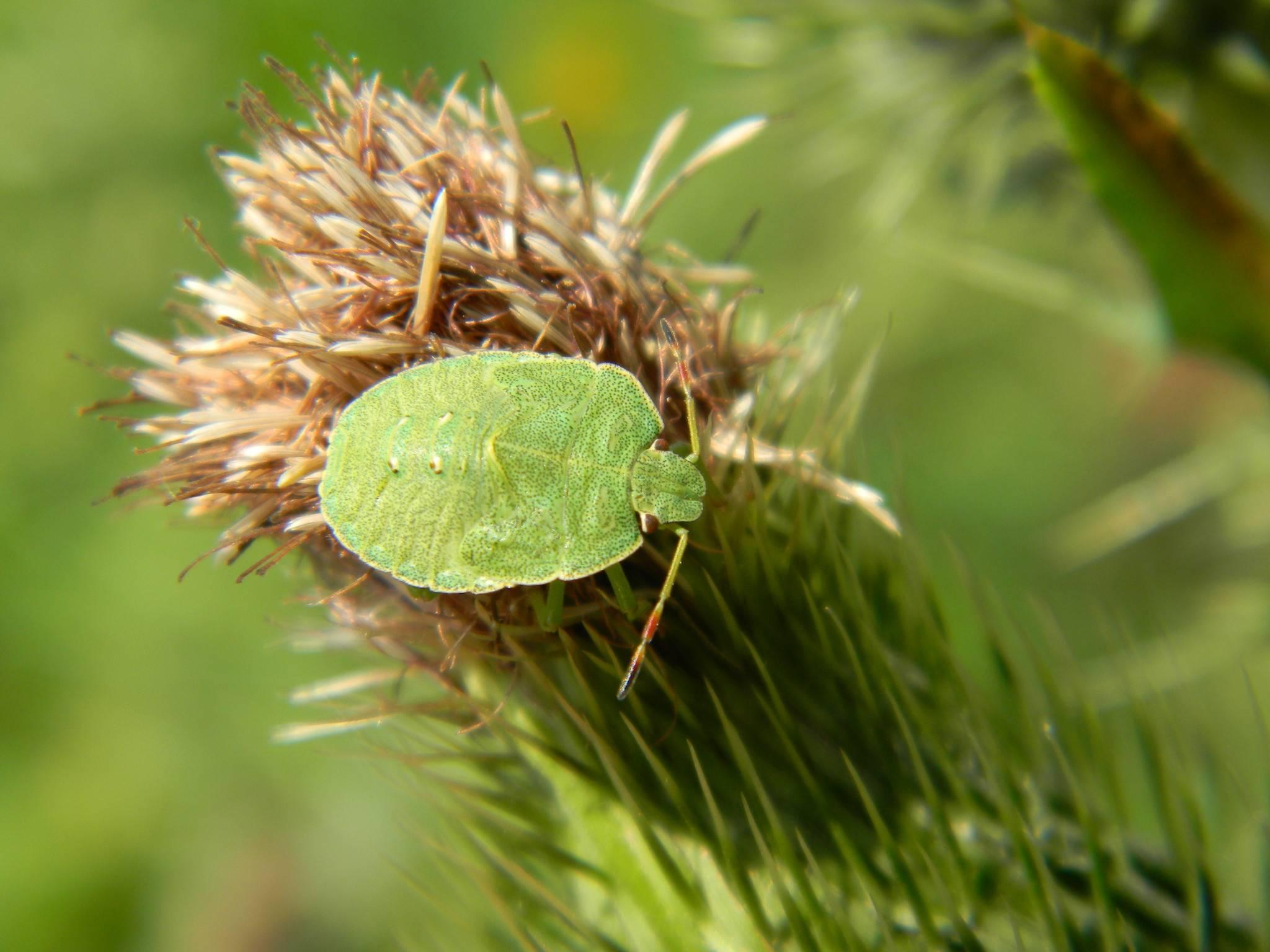 Огородные клопы – вредители с запахом