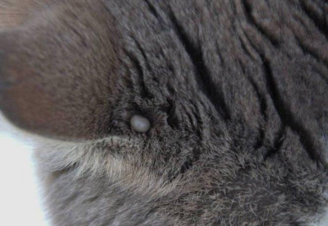 Как вытащить клеща у кота: полезные советы