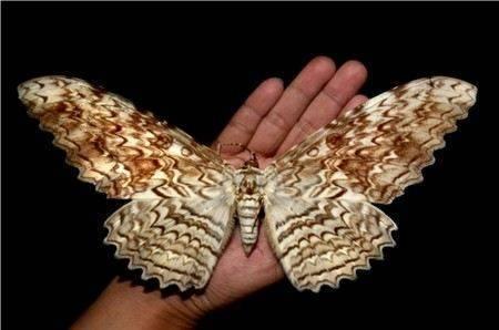 Бабочка сова: «птицеобразное» насекомое