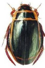 Стрекоза решетчатая— крупный представитель рода ортетрум