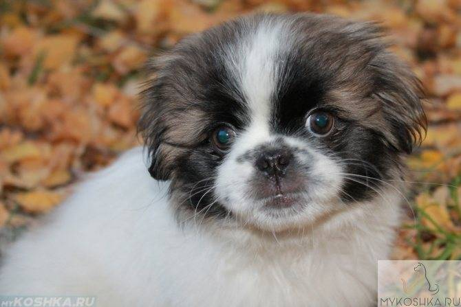 В домашних условиях или в клинике — лечение ушного клеща у собак