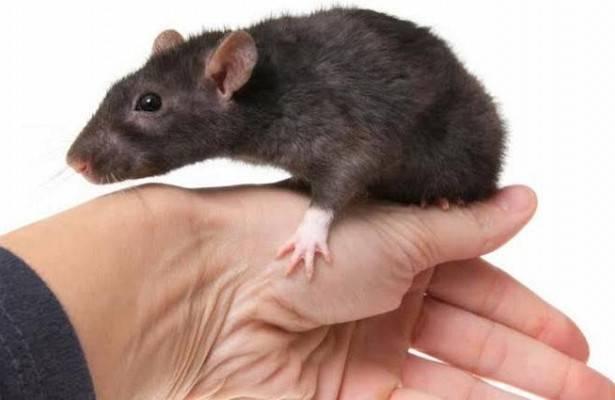 Лихорадка от укуса крыс