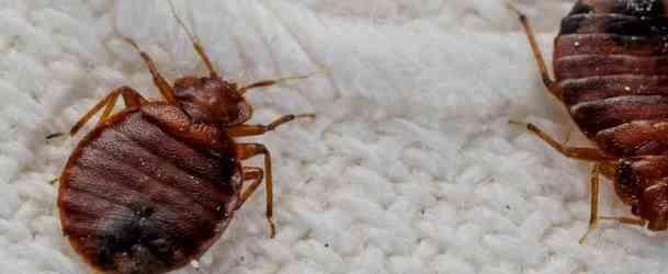 Чего боятся популяции постельных клопов, как можно быстро избавиться