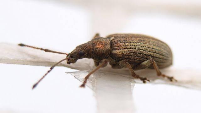 Кто такой жук «долгоносик» и как с ним бороться