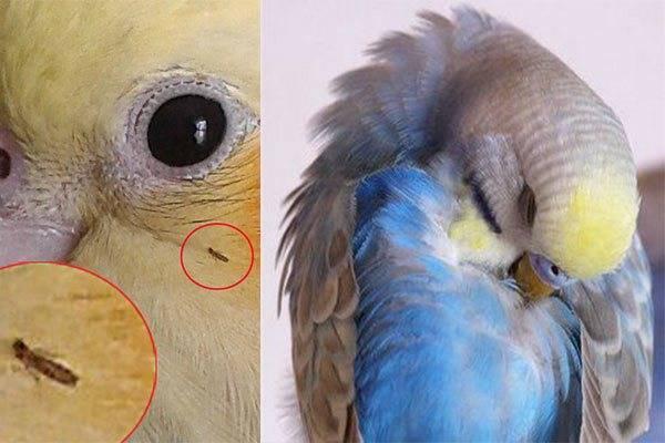Избавление от блох у попугаев — топ эффективных домашних методов