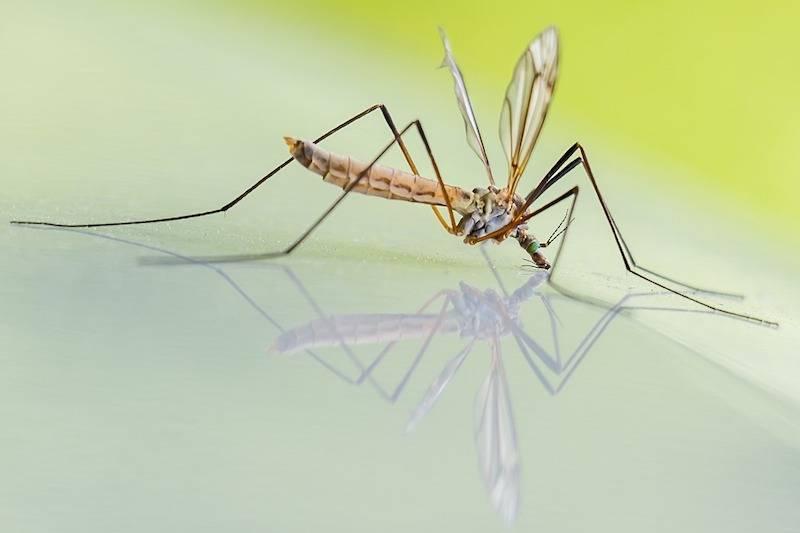 Отличия комаров от москитов