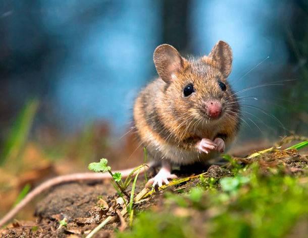 Мышь полёвка
