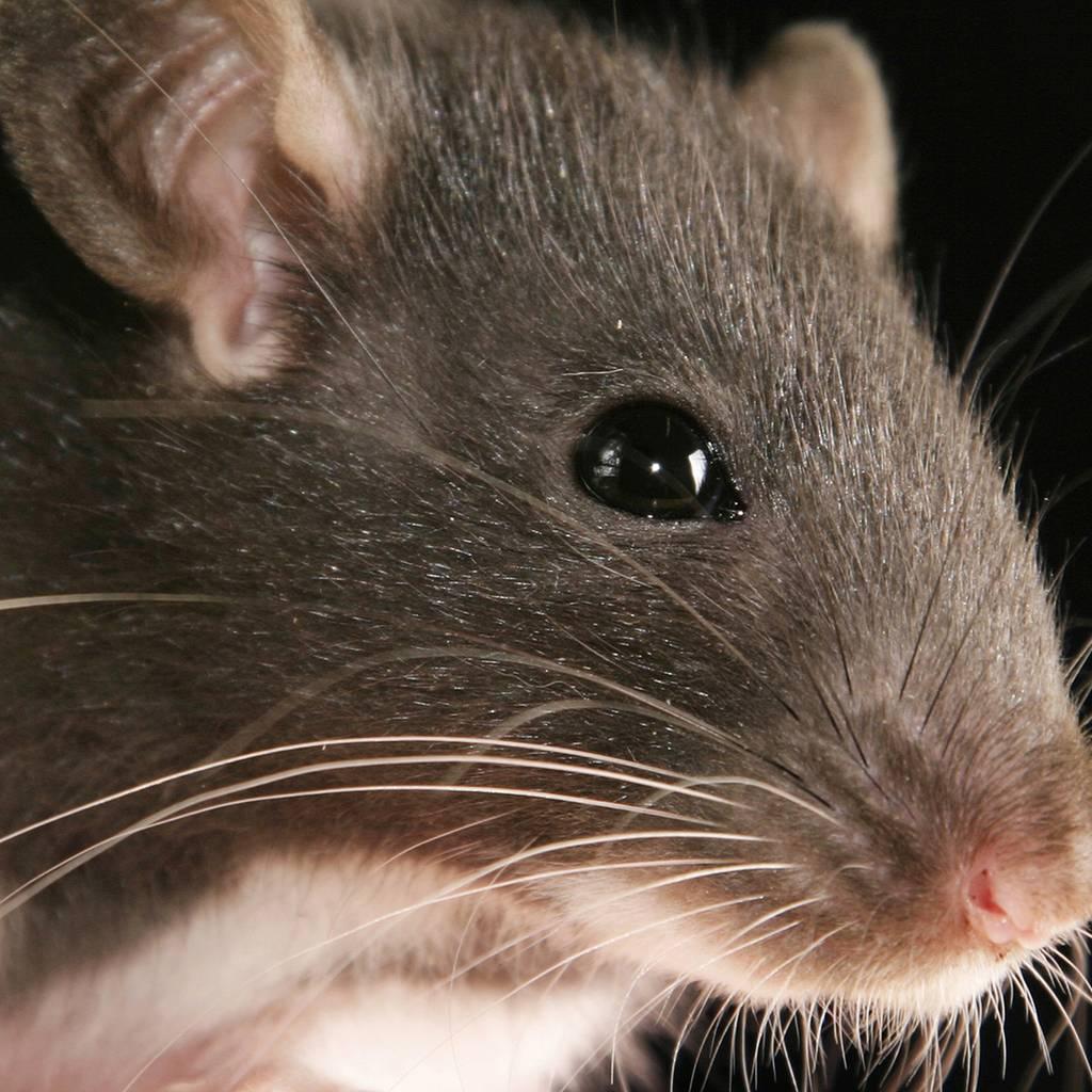 Что делать если укусила крыса до крови?