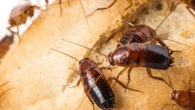 Какие запахи не любят тараканы и каких боятся?