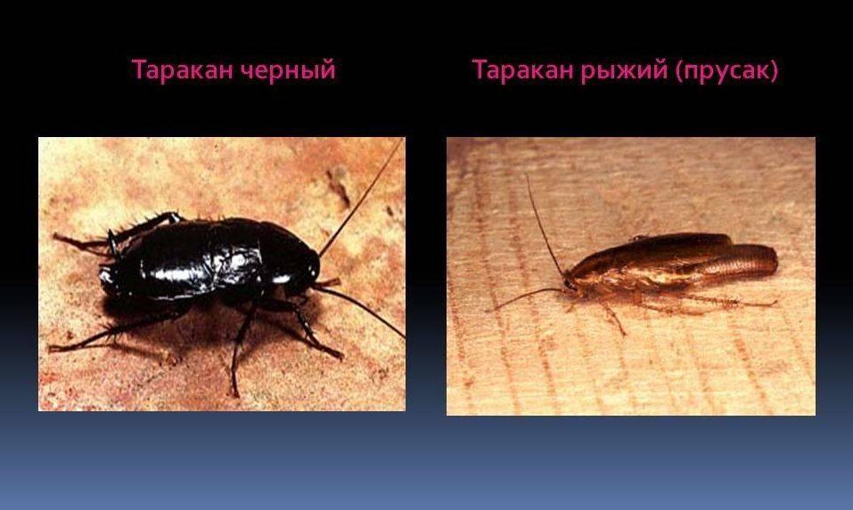 Жуки похожие на тараканов не представляют опасности