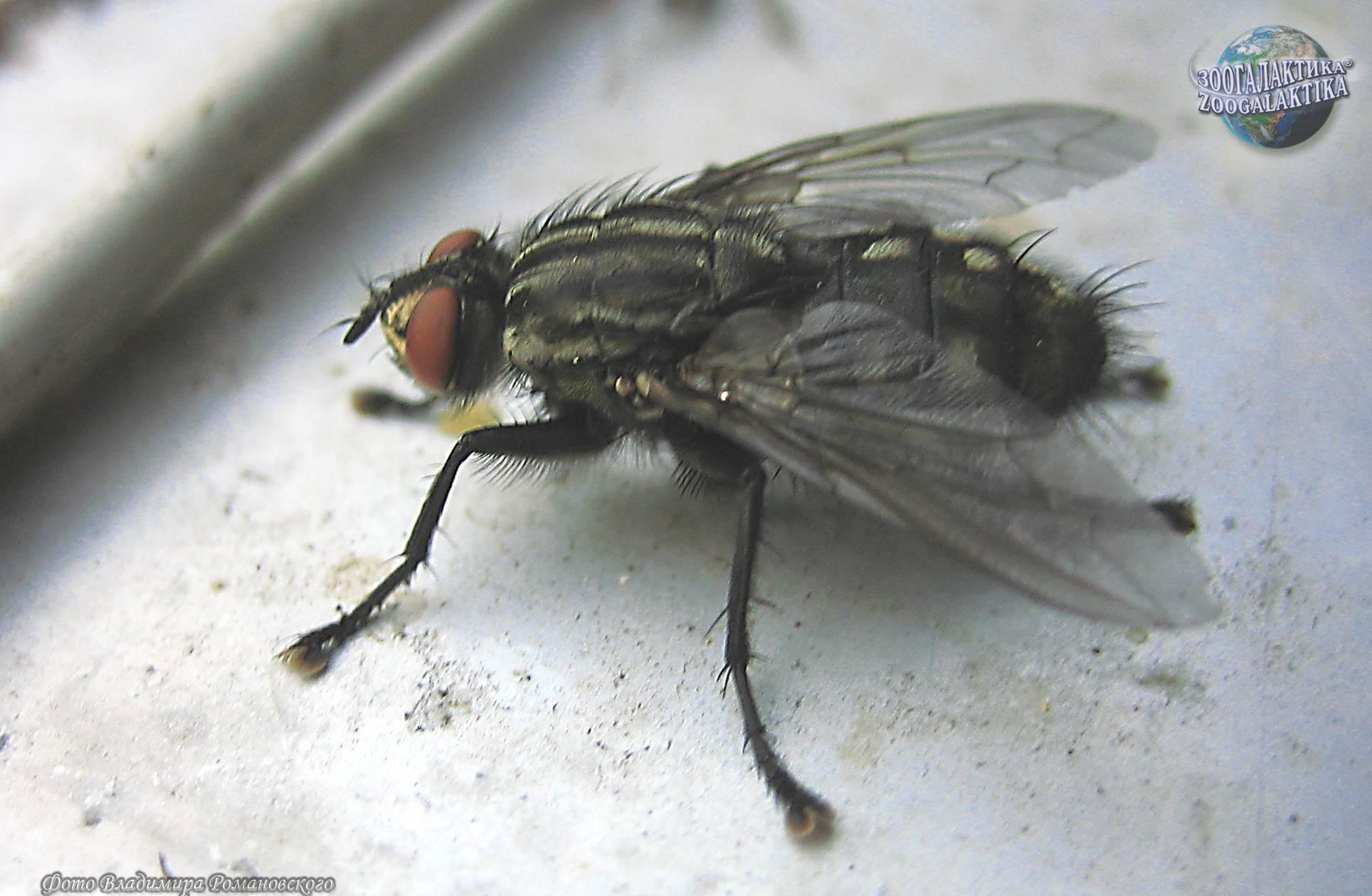 Серые мясные мухи