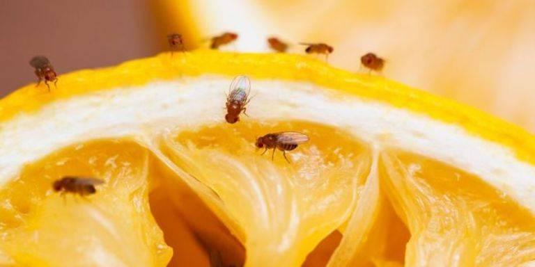 Как избавиться от мусорных мошек в квартире. при помощи каких средств и как вывести мошек из квартиры и предотвратить размножение назойливых насекомых. в чем вред цветочных мошек