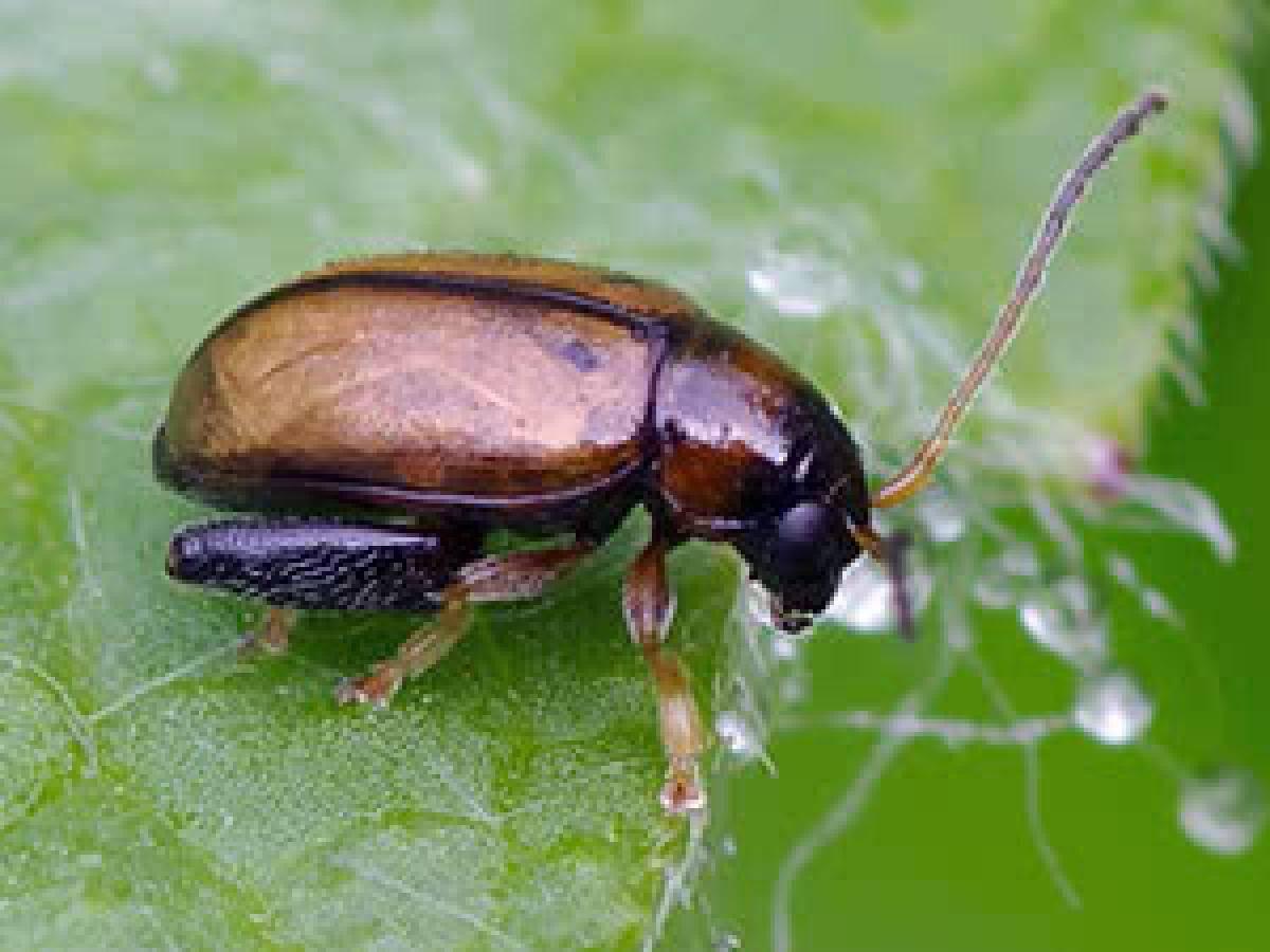 Капустная моль: маленькая бабочка – большой вред
