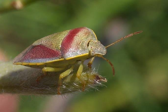 Садовые клопы: подробно о вредных и полезных насекомых с фото и как от них избавиться