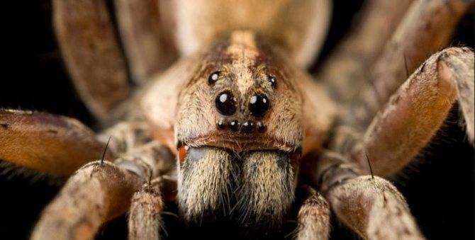 Самые опасные пауки в россии – список, описание, где водятся, чем опасны, фото и видео