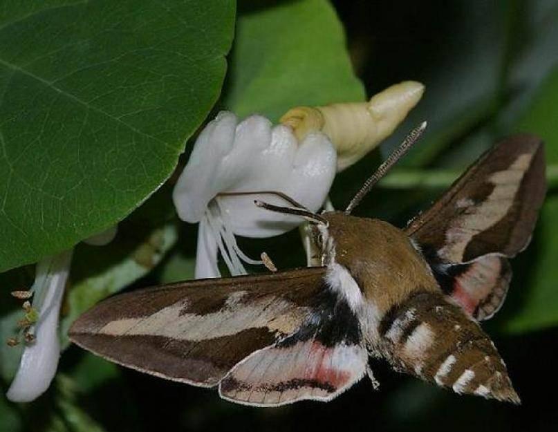 Бабочка бражник глазчатый
