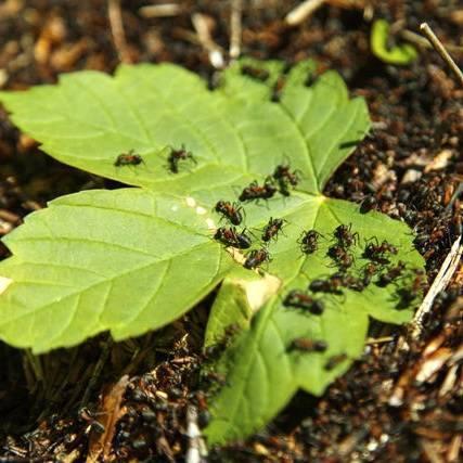 Как вывести муравьев с грядки с огурцами: эффективные методы
