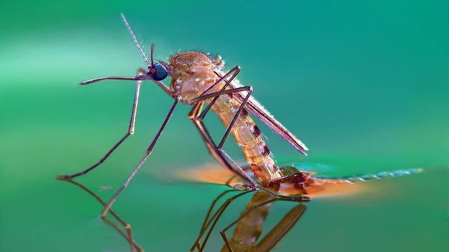 Зеленые комары-звонцы (комары-дергуны)