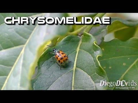Тополевый листоед: как выглядит и методы борьбы с насекомым