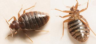 Злейшие враги колорадского жука: птицы и насекомые