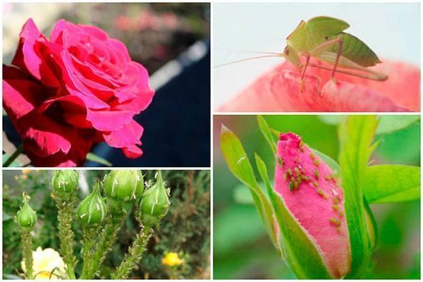 Тля на розах: 10 способов как эффективно бороться народными средствами