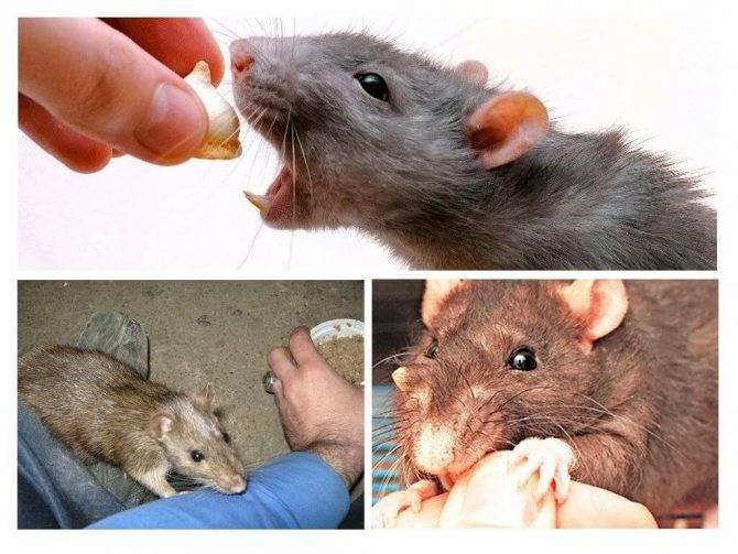 Правила оказания первой помощи при укусах крыс